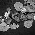 4425- Lily Pad Black And White by David Lange