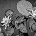 4432- Lily Pads Black And White by David Lange