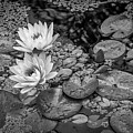 4445- Lily Pads Black And White by David Lange
