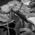 4466- Lily Pads Black And White by David Lange