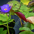 4466- Lily Pads by David Lange