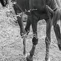 Wild Mustangs by Marit Runyon