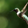 4753 - Ruby-throated Hummingbird by Travis Truelove