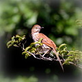 4979 - Brown Thrasher by Travis Truelove