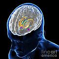 Anatomy Of The Brain by Fernando Da Cunha