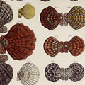Aquatic Animals - Seafood - Shells - Mussels by Art Makes Happy