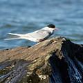 Arctic Tern by Jouko Lehto