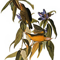 Audubon: Warbler, (1827-38) by Granger