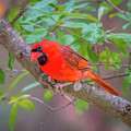 Cardinal Birds Hanging Out On A Tree by Alex Grichenko