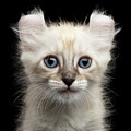 Cute American Curl Kitten With Twisted Ears Isolated Black Background by Sergey Taran