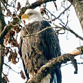 Eagle In A Tree by Clarence Alford