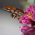 Gulf Fritillary Butterfly  by Ruth  Housley
