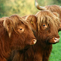 Highland Cattle by Angel Ciesniarska