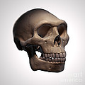 Homo Erectus Skull by Science Picture Co