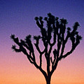 Joshua Tree With Special Effects by Jim Corwin