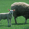 Lamb Chop With Mother by Carl Purcell