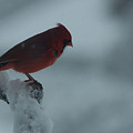 Male Cardinal by Craig Hosterman