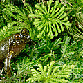 Mehu�n Green Frog by Dant� Fenolio