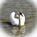Mute Swan by Esko Lindell