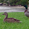 New Zealand - Mallard Ducks On The Grass by Jeffrey Shaw