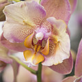Orchid by Ilze Lucero