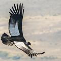 Patagonia Condor by Walt Sterneman