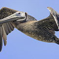 Pelican by Marc Bittan