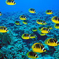 Raccoon Butterflyfish by Dave Fleetham - Printscapes