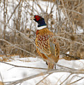 Ring Necked Pheasant by Dennis Hammer