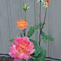 5 Roses In Rain by Shirley Heyn