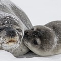 Seal by FL collection