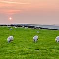 Sheep by Mariusz Talarek