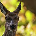 Stunning Hind Doe Red Deer Cervus Elaphus In Dappled Sunlight Fo by Matthew Gibson