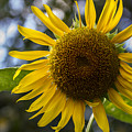 Sunflower by Jerry Gammon