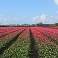 Tulips In Warmenhuizen by Chani Demuijlder