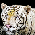 White Tiger by Jijo George