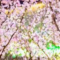 Cherry Blossom by Jijo George