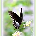 5276-001- Butterfly - Swallowtail by Travis Truelove
