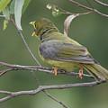 Bellbird by Masami Iida