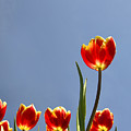 Tulips by LS Photography