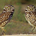 563977016 Burrowing Owls Athene Cunicularia Wild Florida by Dave Welling