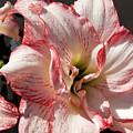 Amaryllidaceae Hippeastrum Amorice by Allan  Hughes