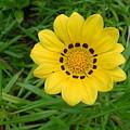 Australia - Daisy With Yellow Petals by Jeffrey Shaw