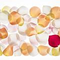 Back Lit Flower Petals  by Dan Yeger