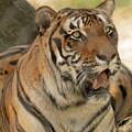 Bengal Tiger by David Pine