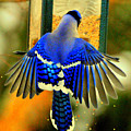 Blue Jay by Aron Chervin