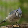 Bluejay by Diane Schuler