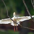 Cattle Egret In Flight Portrait by Roy Williams