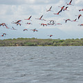 Colombia Sanctuary Of Flamingos Near Riohacha by Carol Ailles