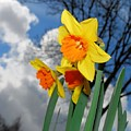 Daffodils by FL collection